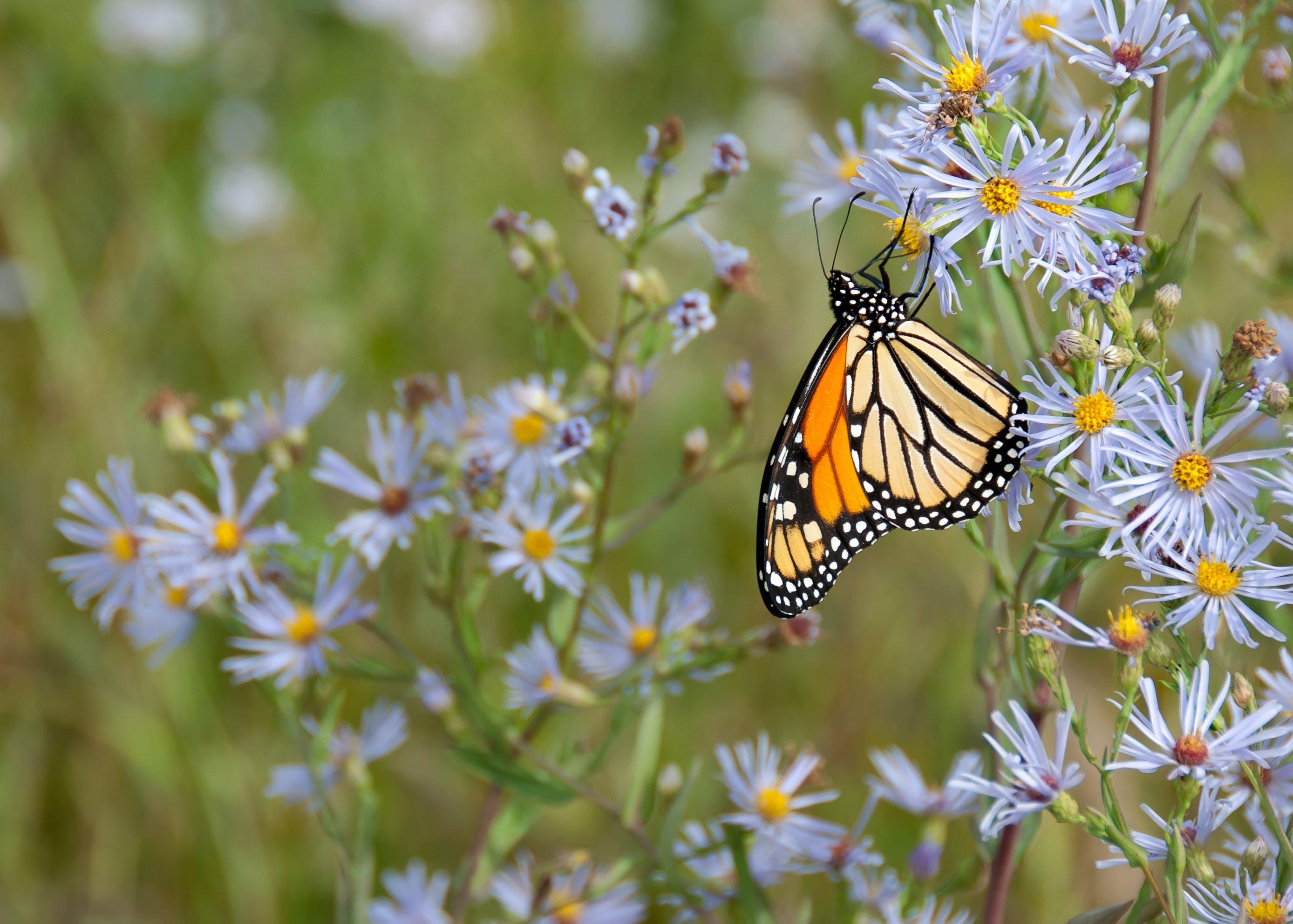 Foto d'estoc gratuïta de bitxo, danaus plexippus, flora, flors