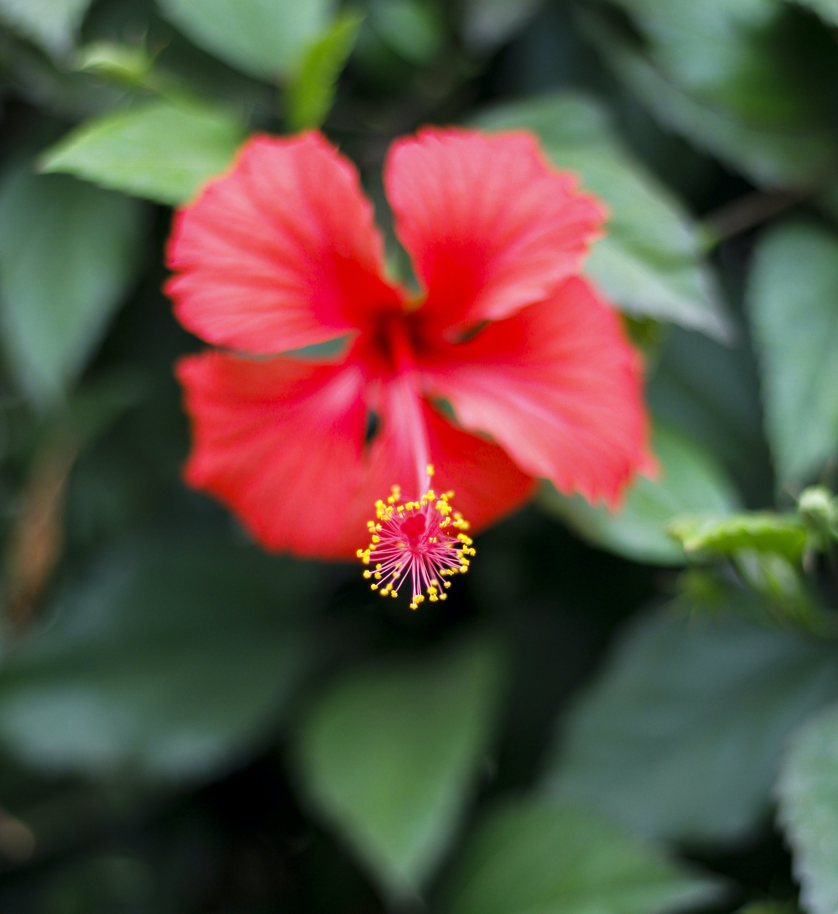 Free stock photo of beautiful flowers, red flower