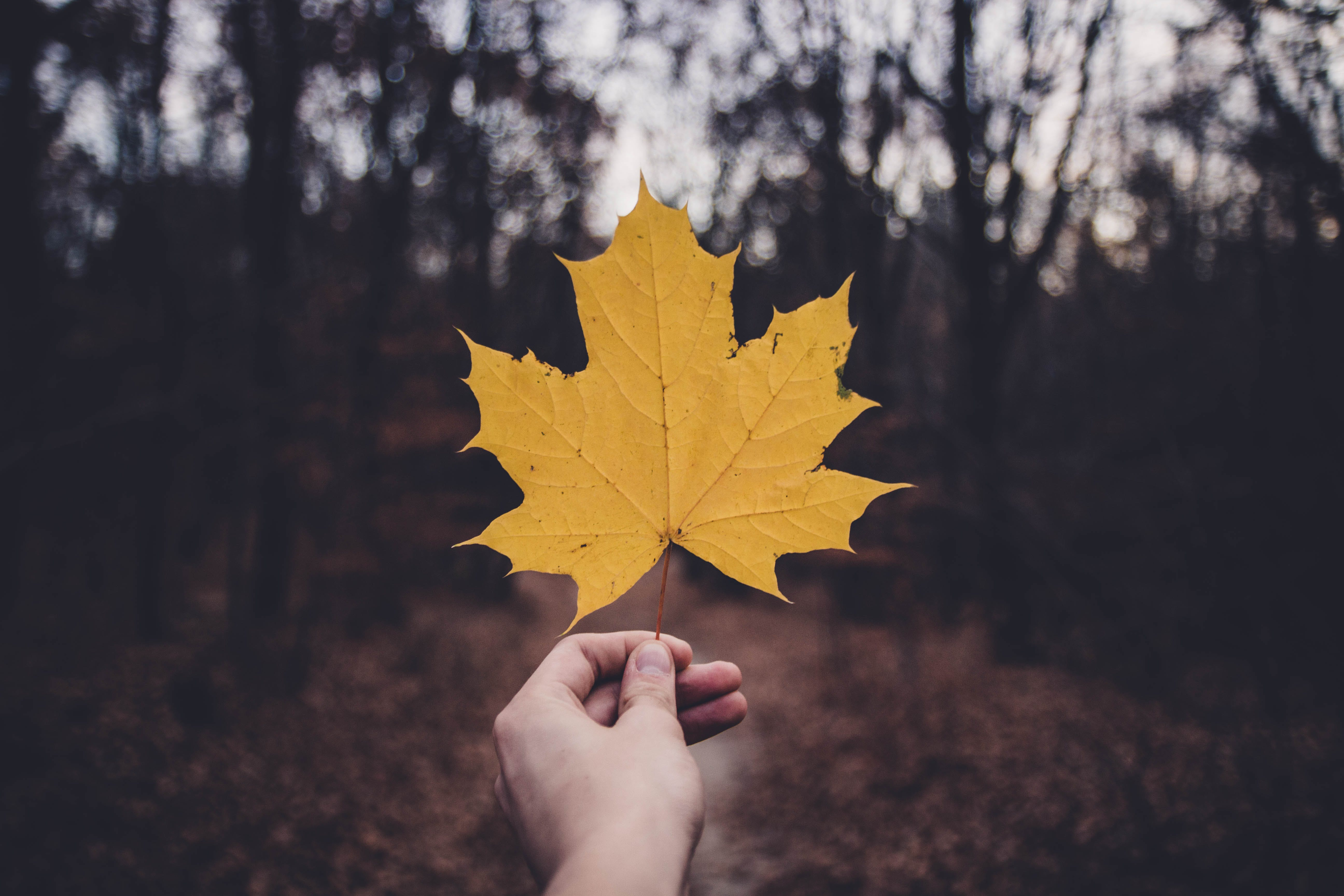 Low Light Photography of Dried Maple Leaf