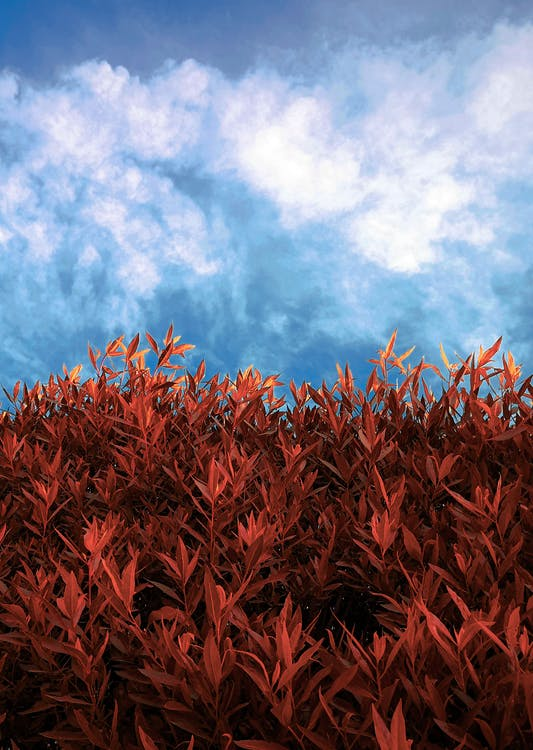 γαλάζιος ουρανός, δέντρο, κόκκινο λουλούδι