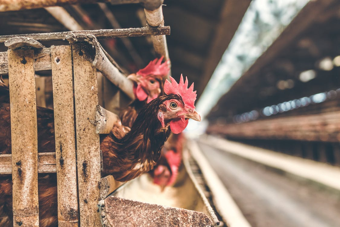 Selective Focus Photography of Rooster in Cage