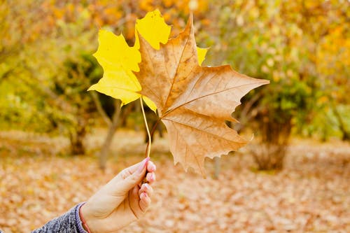 Person Holds Brown and Yellow Maple Leaves