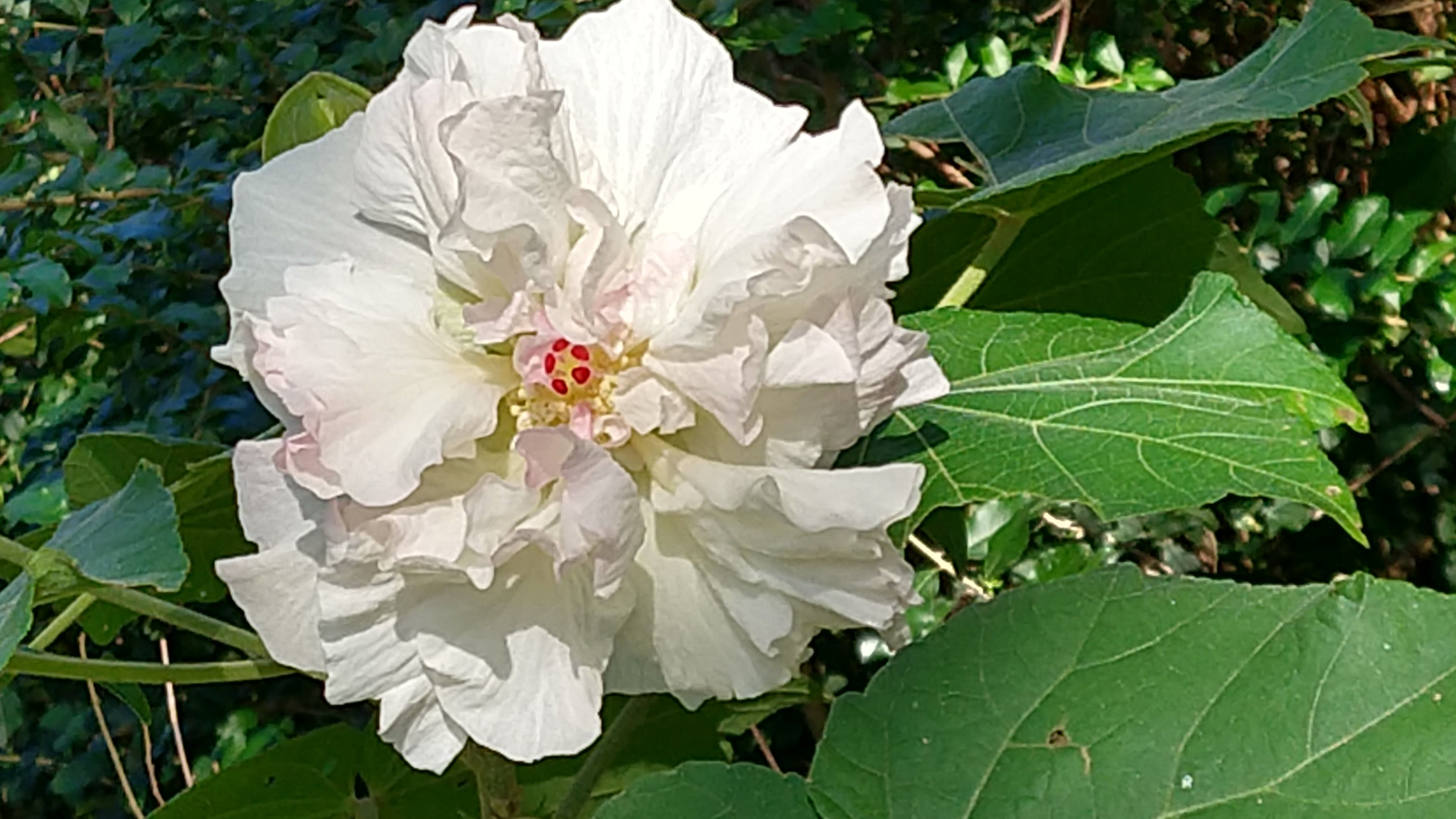 Free stock photo of Confederate Rose, Hibiscus mutabilis