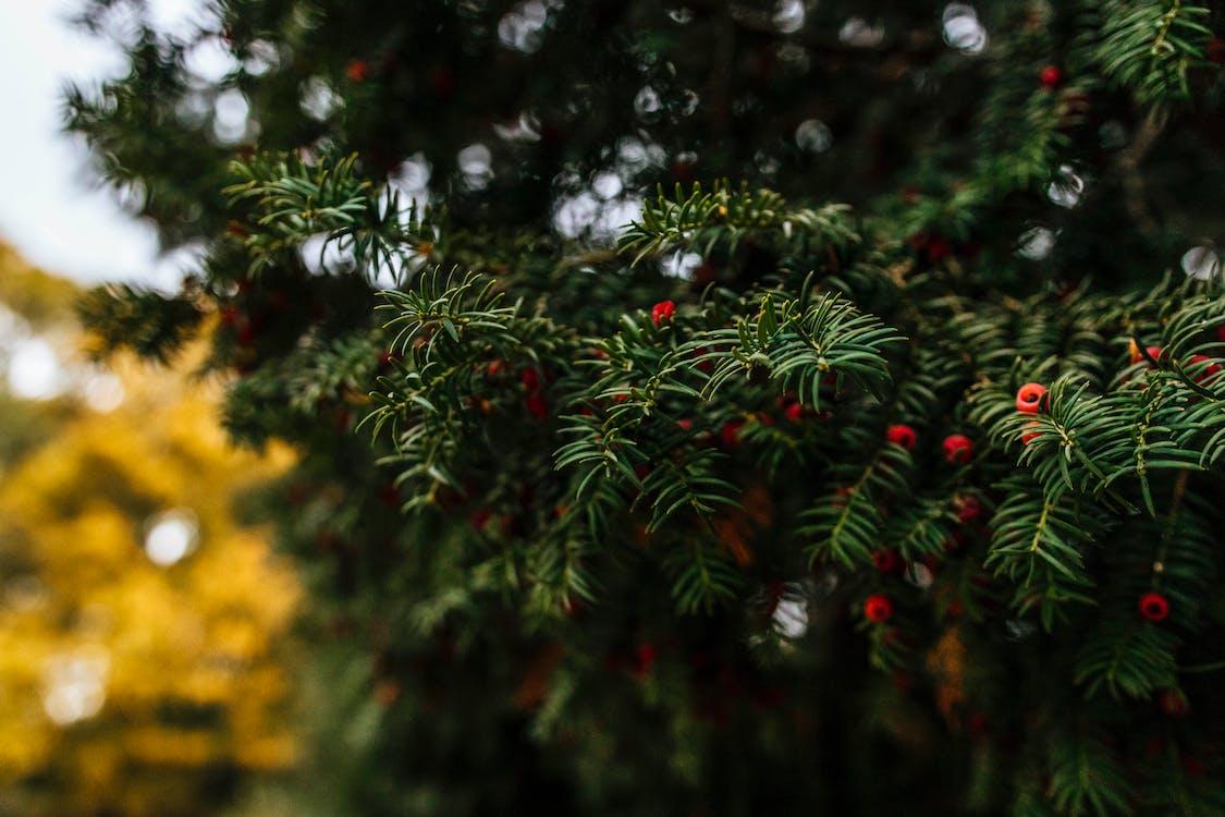 bær, close-up, farve