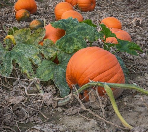 Kostnadsfri bild av grönsaker, halloween, mat, pumpa
