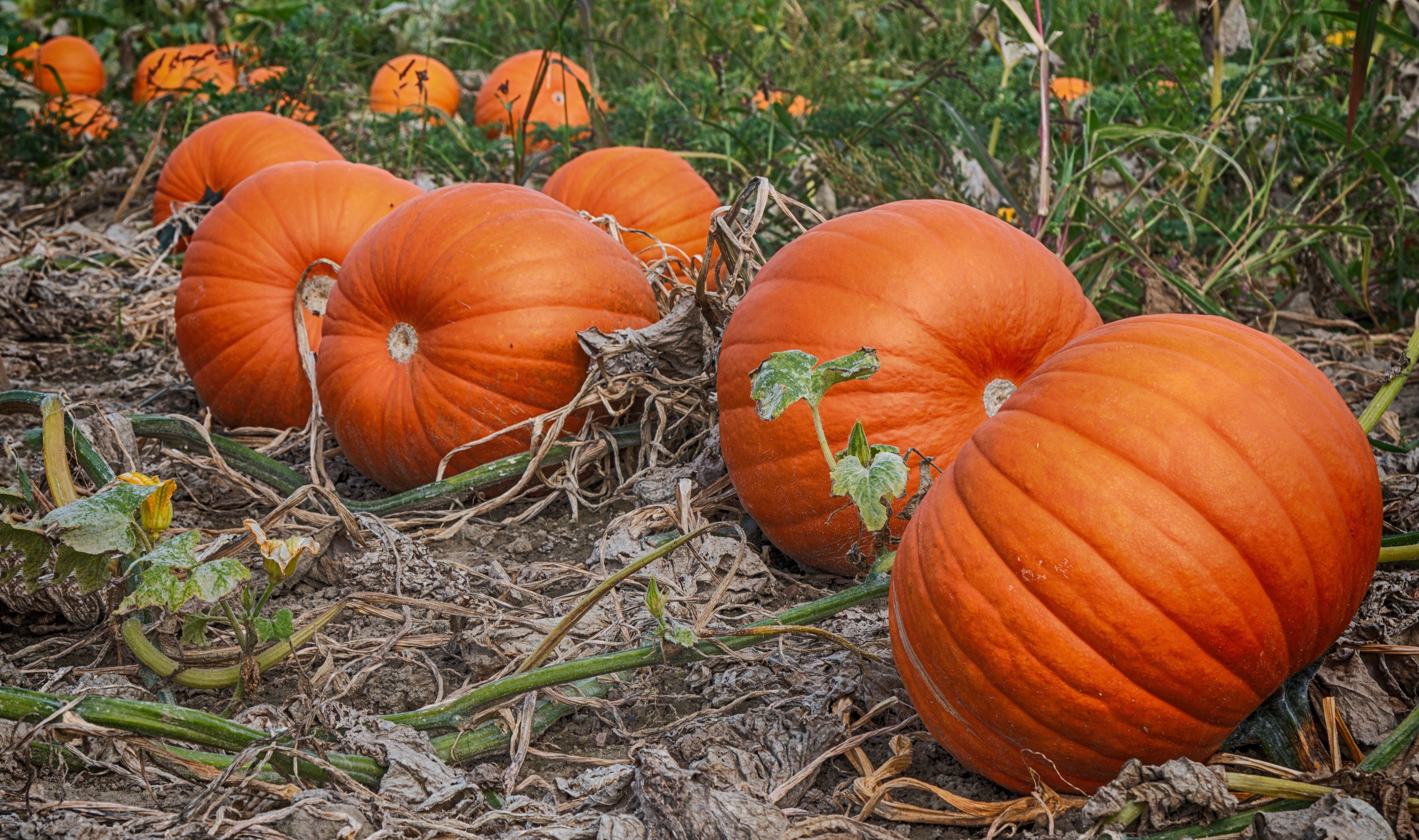 Free stock photo of autumn, fall, food, halloween