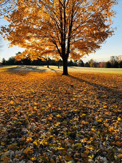 Gratis lagerfoto af ahornblade, efterårsblade, efterårsfarver, efterårsløv