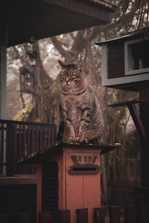 Brown Tabby Cat Oben Auf Holzbalken