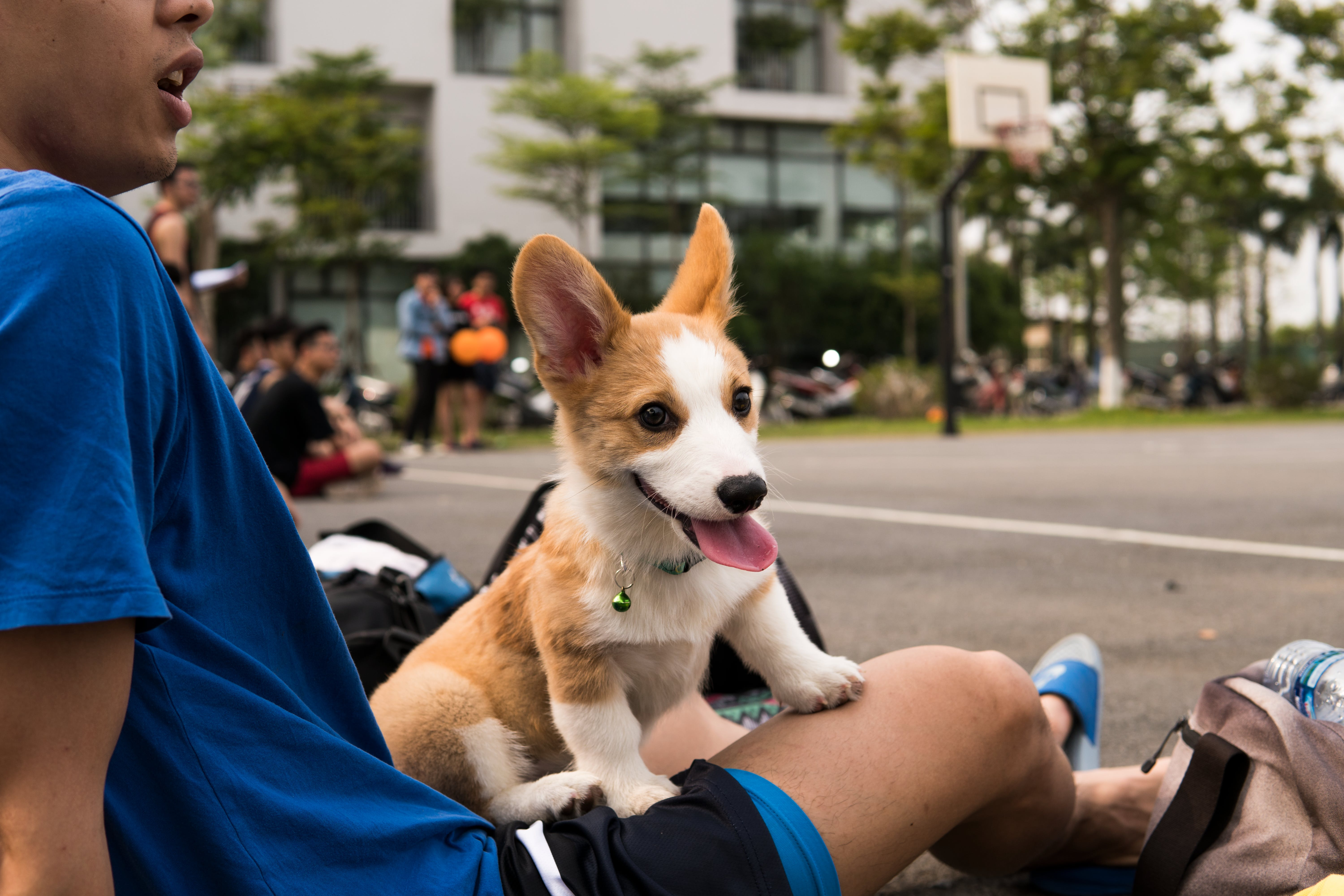 Tan and White Pembroke Welsh Corgi Puppy on Focus Photo