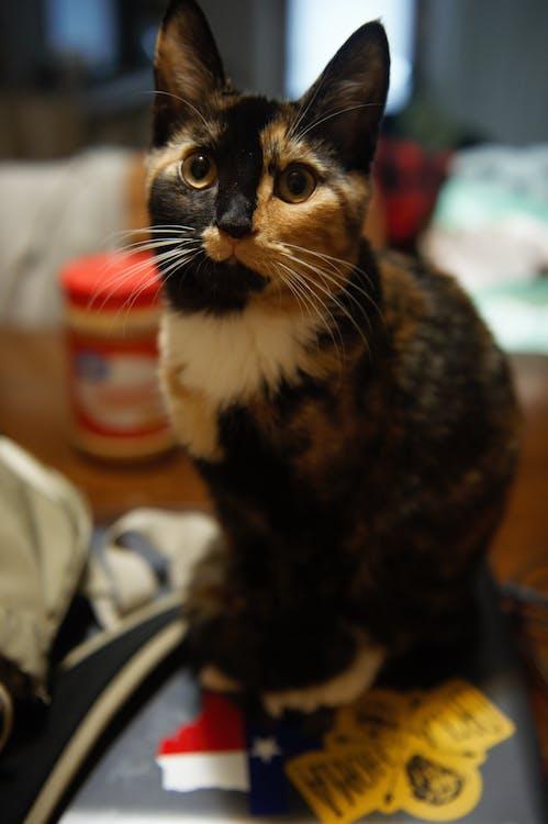 kissa, kissan kasvot, kissan silmä
