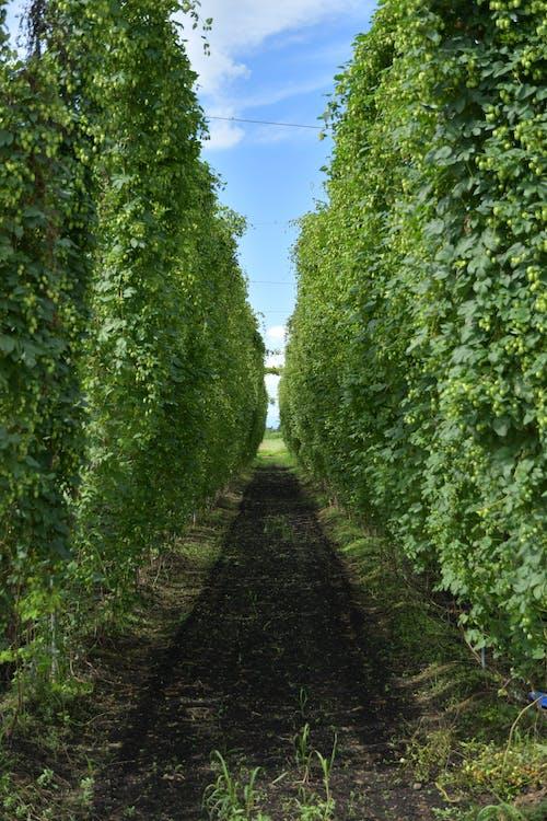 Ingyenes stockfotó komló, komló kert, sör témában