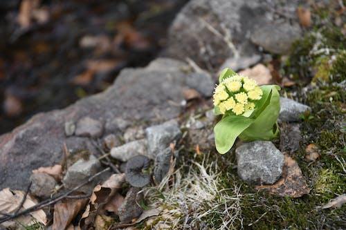Ingyenes stockfotó hegy, Japán, tavaszi virág, tavaszi virágok témában