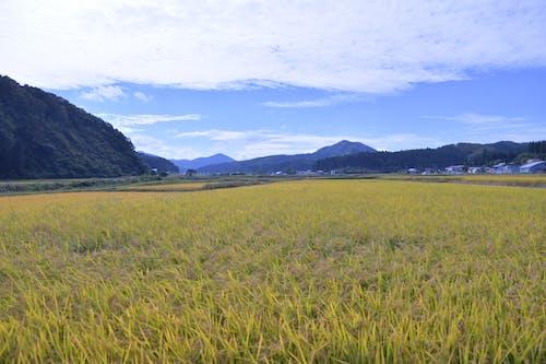 Ingyenes stockfotó aratás, az ősz színei, Japán, rizs témában