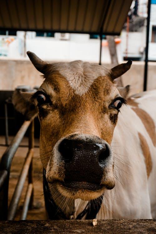 animal domestic, animale domestice, bovine