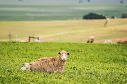 Sheep and Lamb Lying on Grass