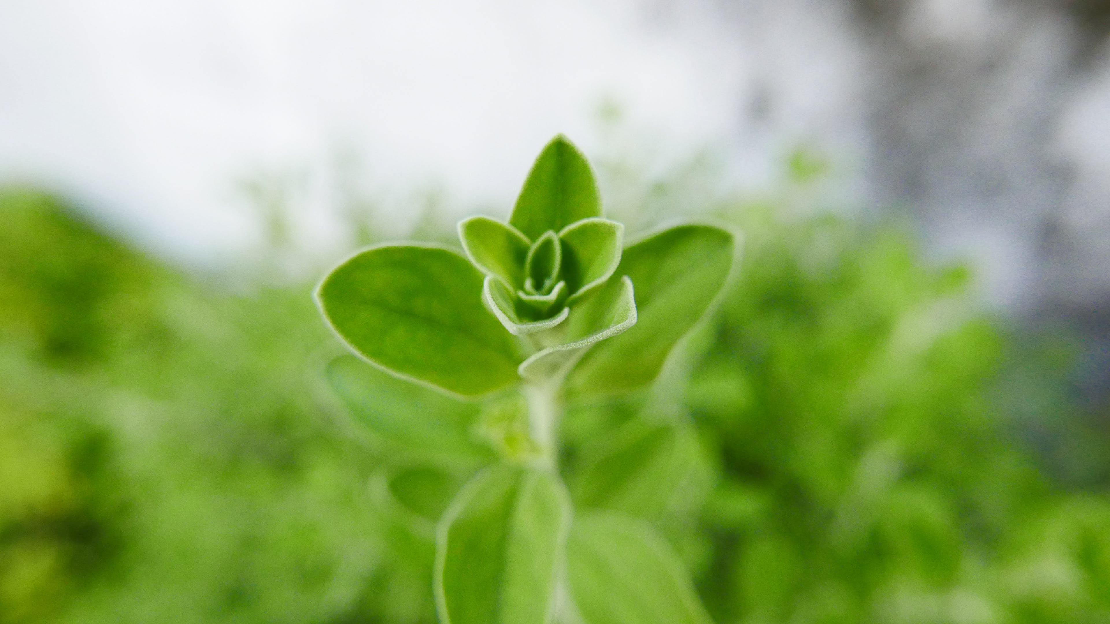 Základová fotografie zdarma na téma bylinka, bylinný, okrasná rostlina, ostření