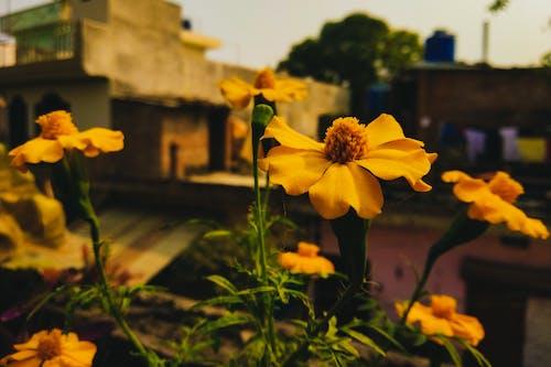 Darmowe zdjęcie z galerii z aksamitka, flora, ogniskować, perspektywa