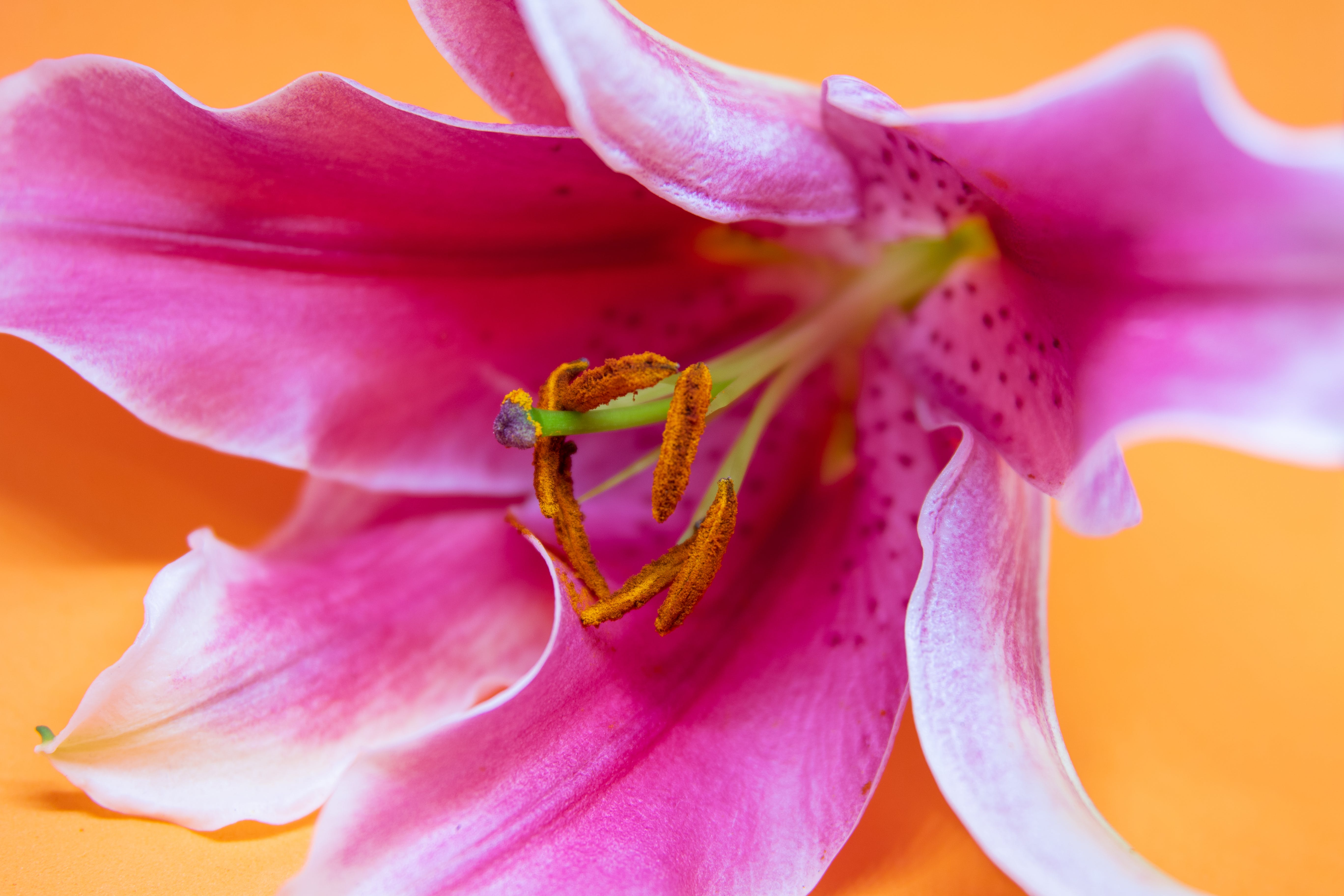 Close-up Photography of Pink Lily Flower
