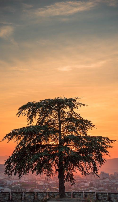Бесплатное стоковое фото с nture, город, дерево, ель