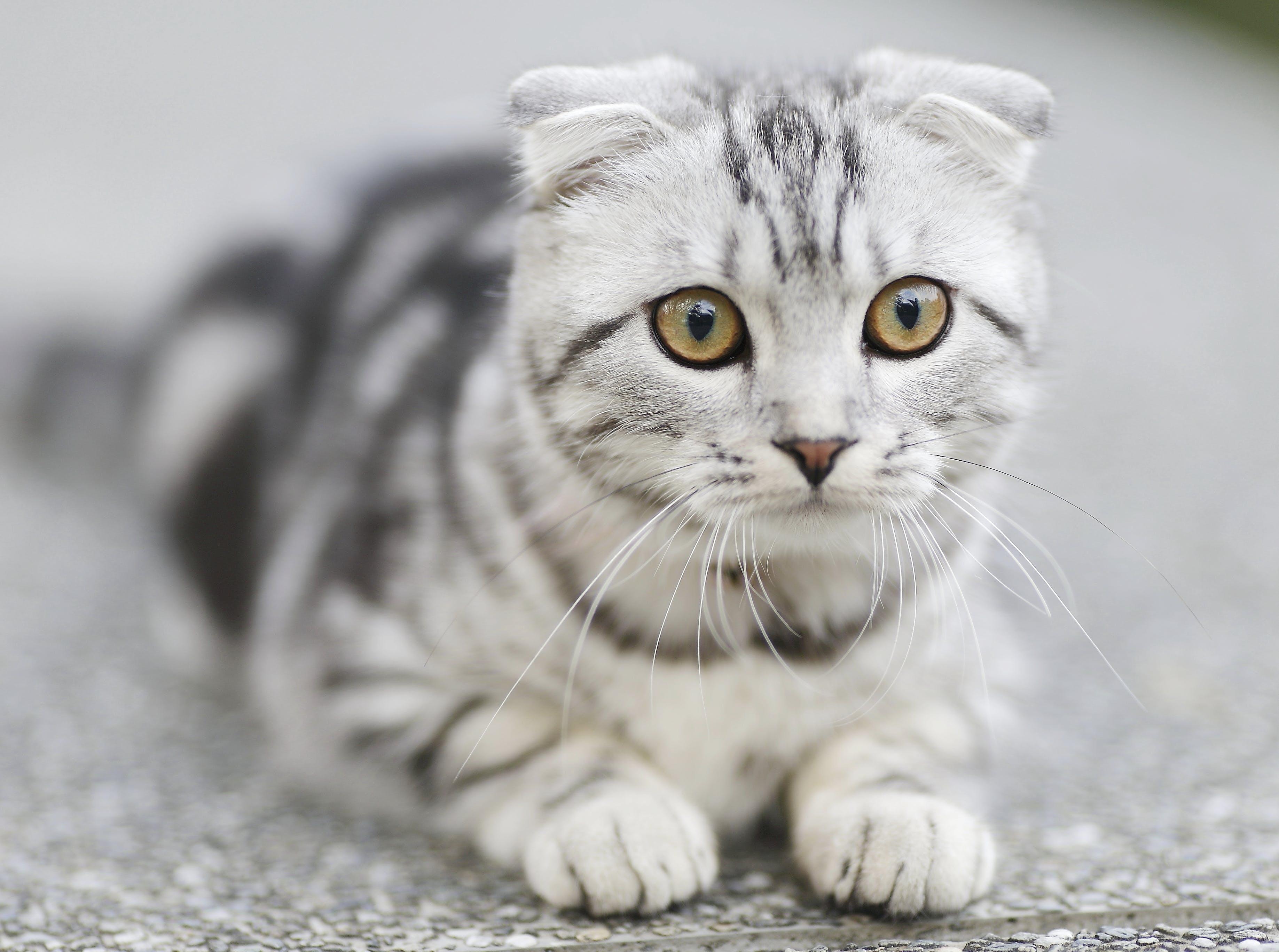 anak kucing, binatang, cute