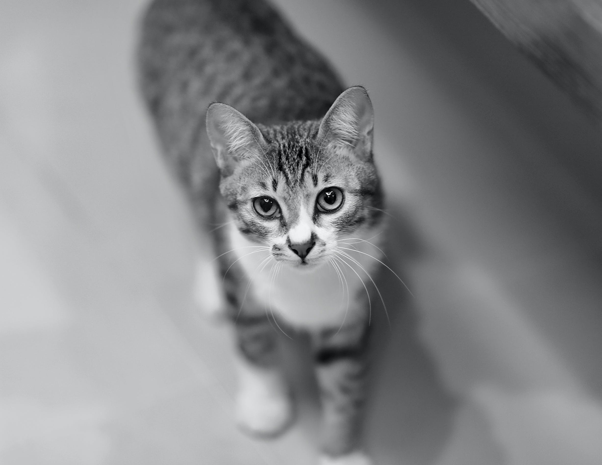 behåret, dyr, kat