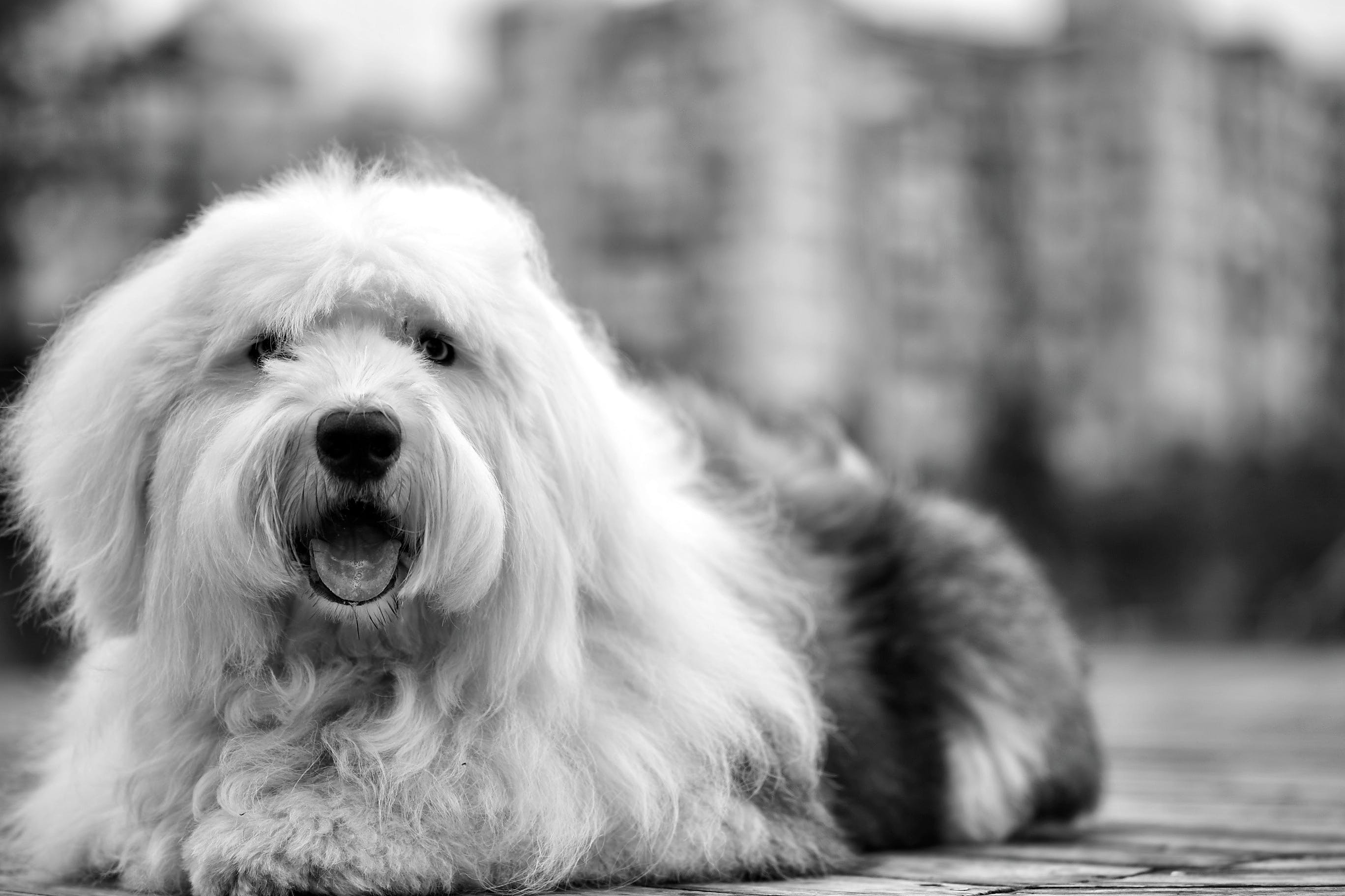 White Black Old English Sheepdog