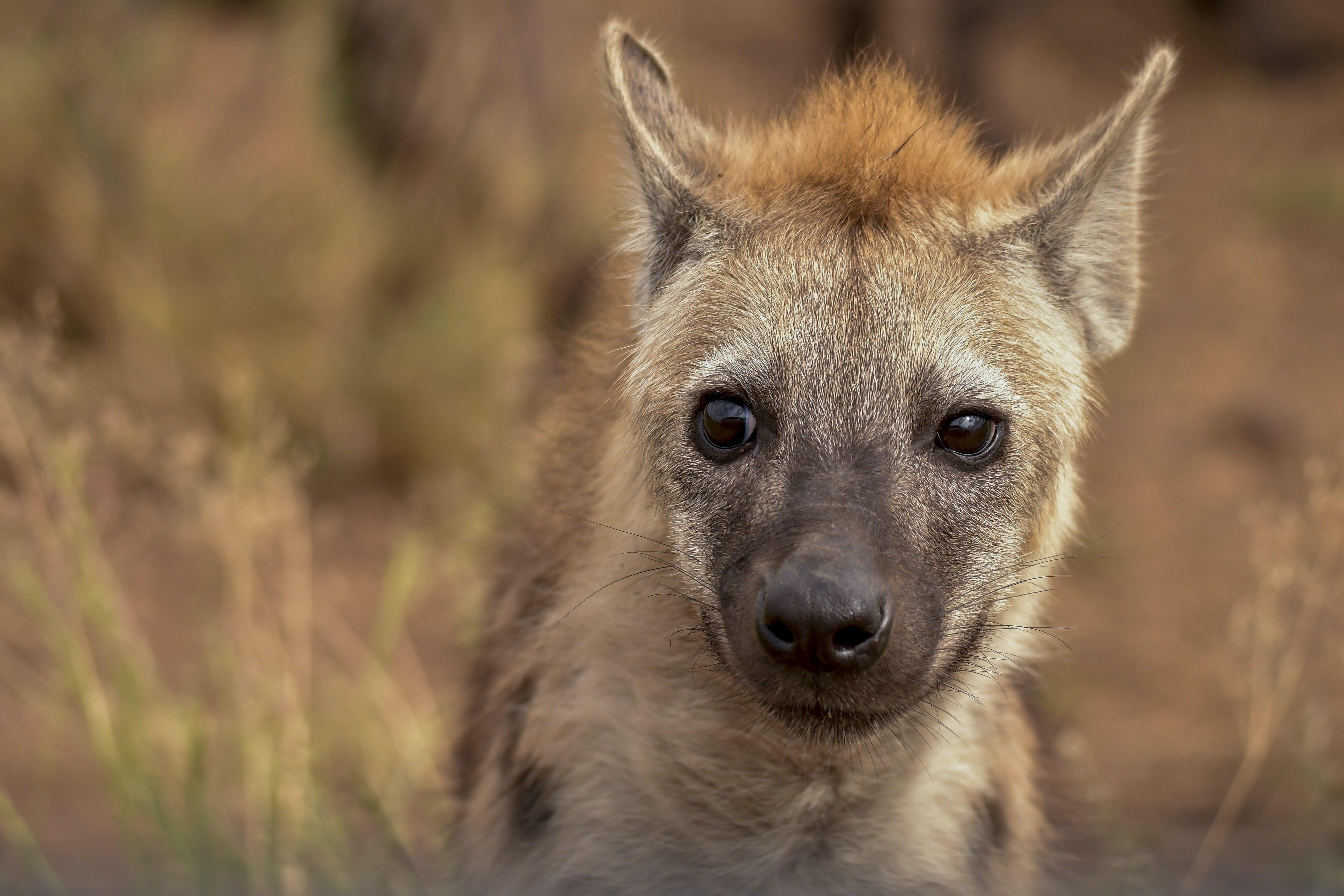 Selective Focus Photography of Hyena