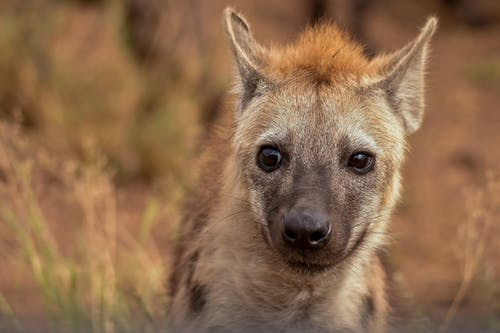 Selective Focus Photography of Hyena