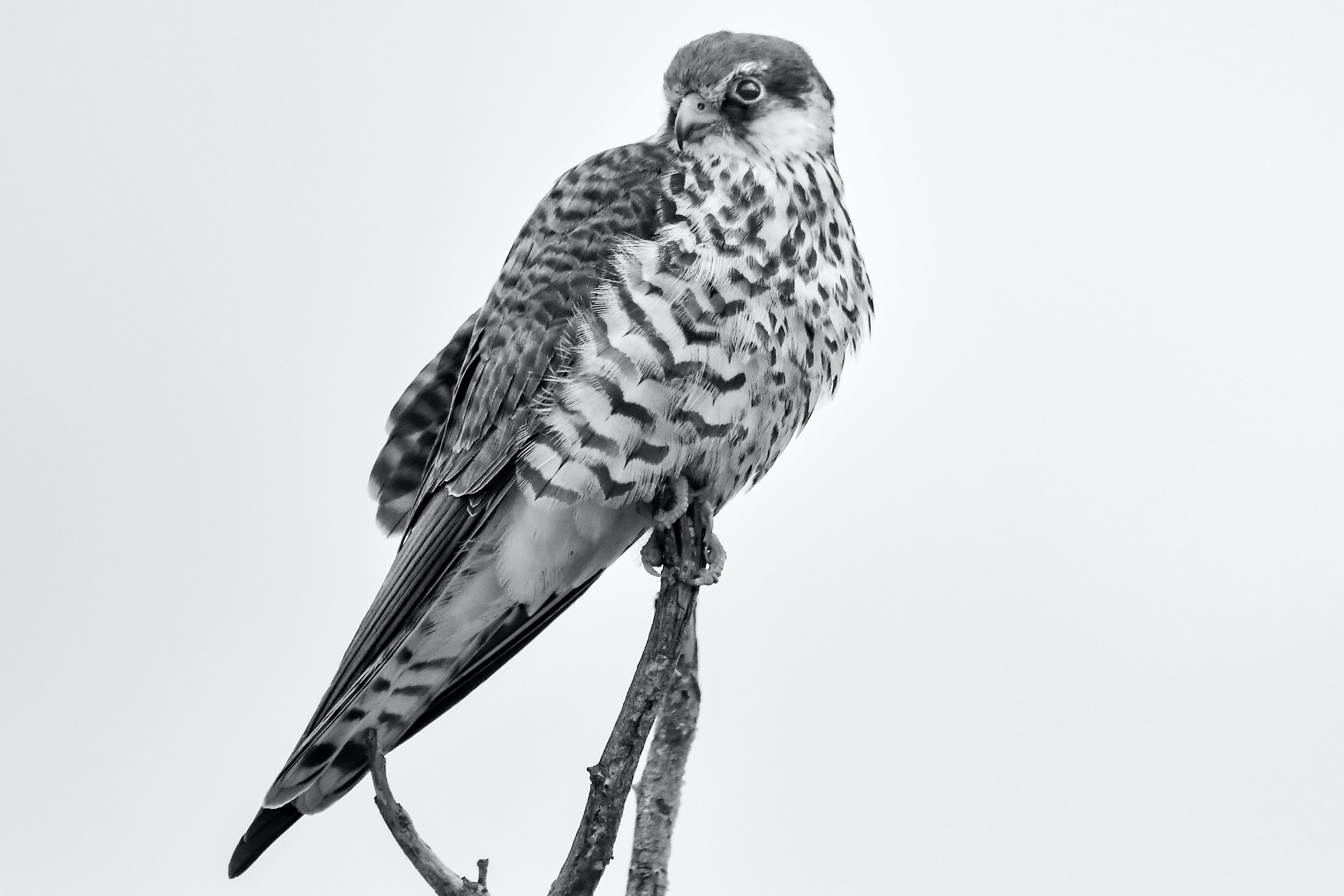 Grayscale Photography of Falcon Perching on Branch