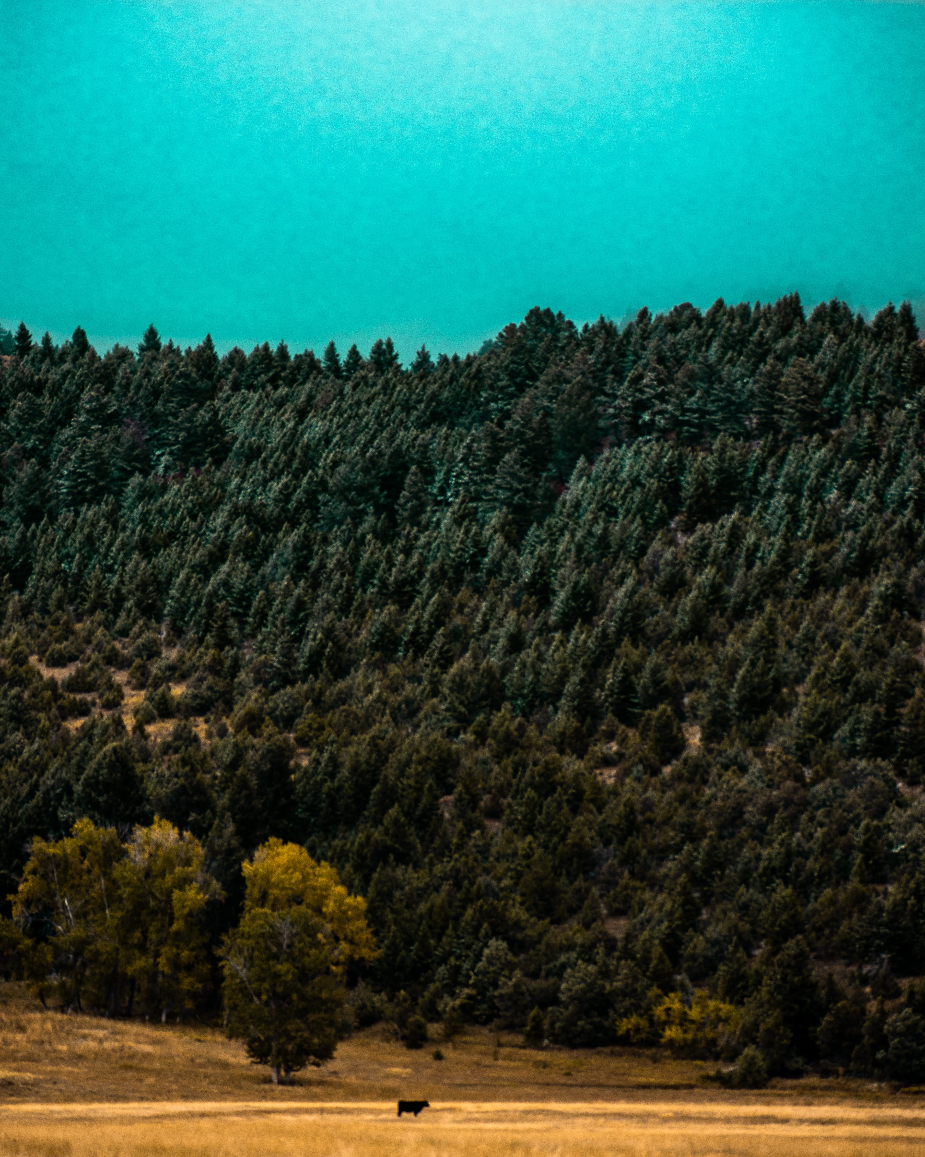 Free stock photo of blue, cow, cyan, forest