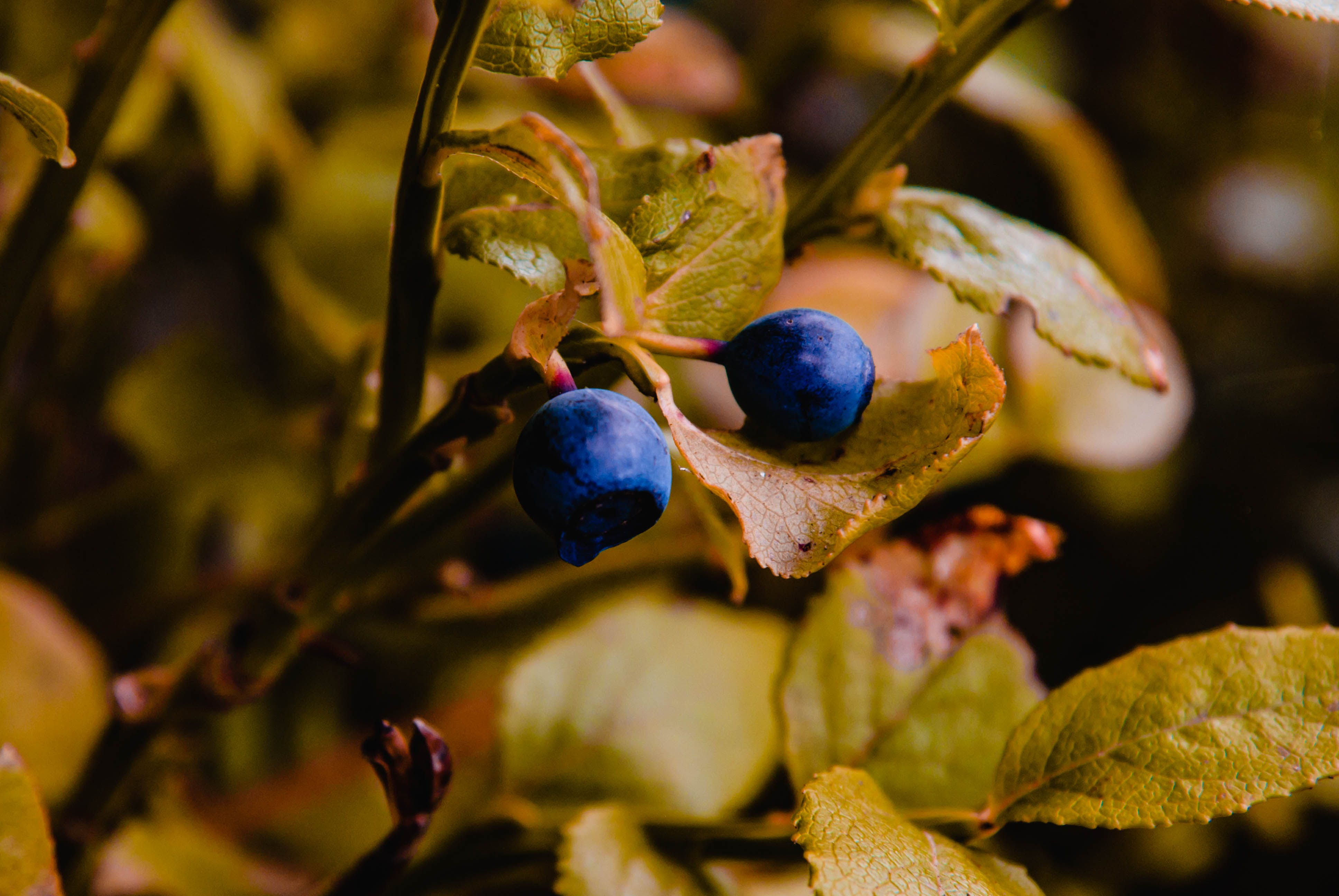 Free stock photo of berry, blue, blueberry, macro