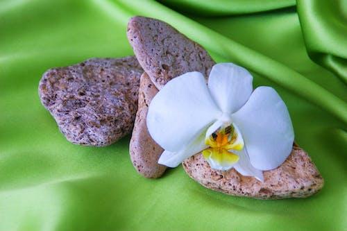 Gratis lagerfoto af orkidé blomst med sten