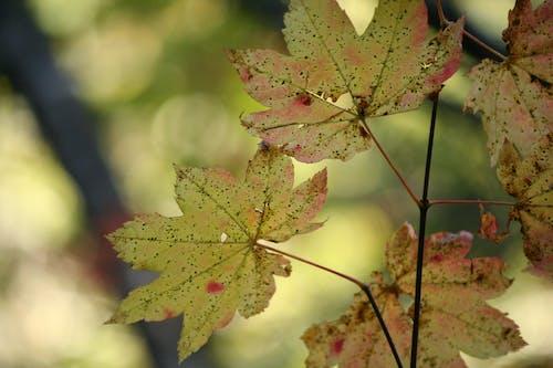 Ilmainen kuvapankkikuva tunnisteilla keltainen, luonto, oksat, vaahtera
