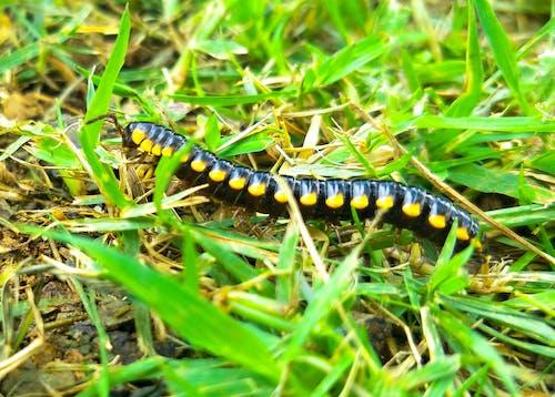 Free stock photo of Asian millipede, Asiomorpha, Asiomorpha coarctata, grass
