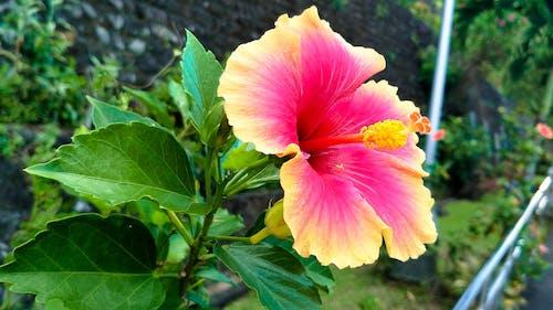 Free stock photo of chinese rose, flower, flowering plants, Gumamela