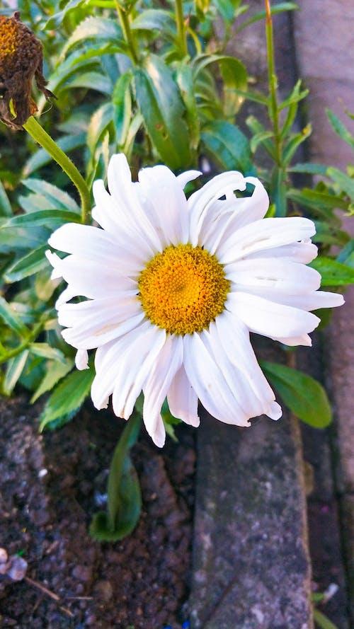 Free stock photo of daisy, daisy flower, flower, garden