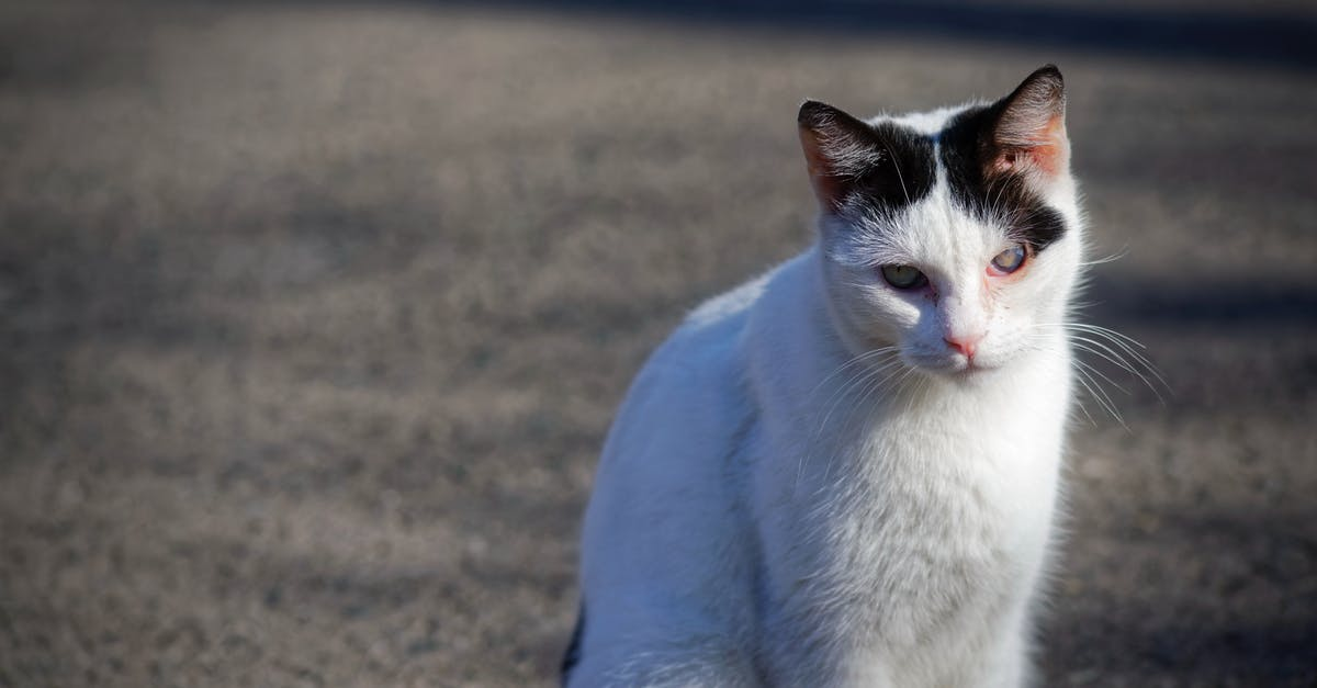 White and Black Calico Cat