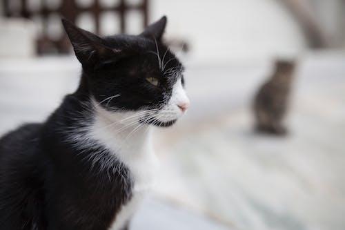 Selective Focus Photography of Tuxedo Cat
