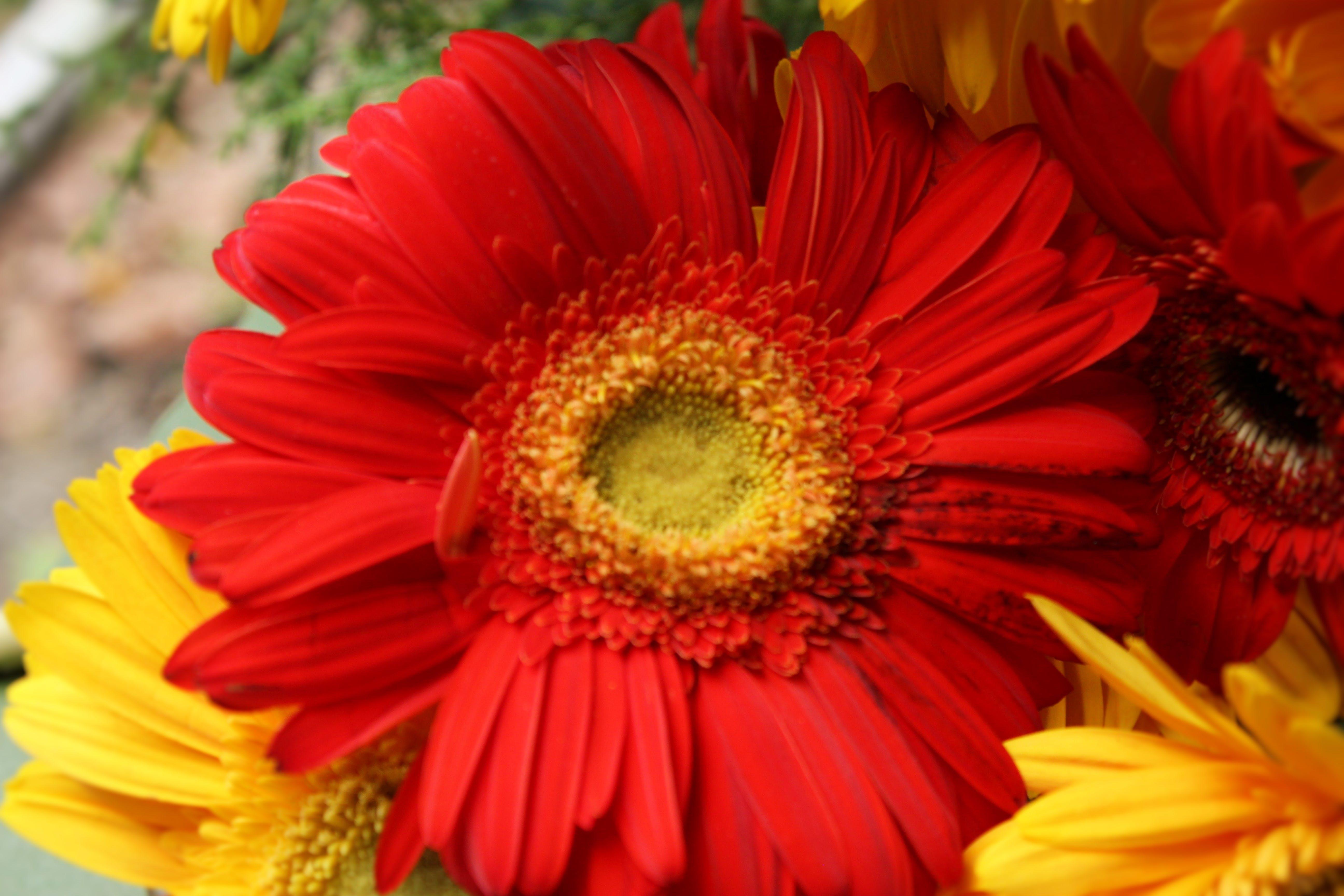 Free stock photo of beautiful flowers, christmas card, christmas gift, christmas present