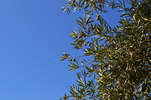 Free stock photo of olive branch, olive tree, olives, tree