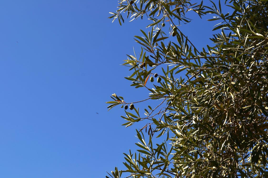 คลังภาพถ่ายฟรี ของ กิ่งมะกอก, ต้นโอลีฟ, ต้นไม้