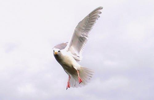 Imagine de stoc gratuită din pescăruș de zbor