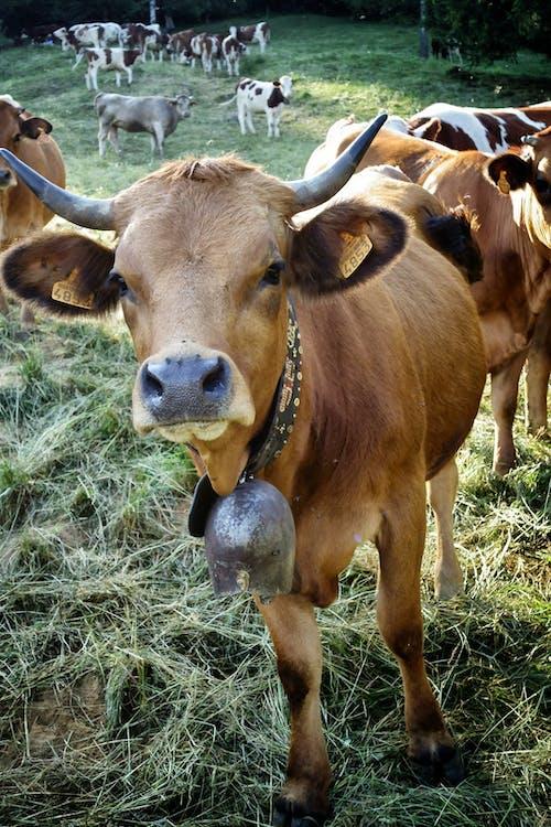 eläin, elinympäristö, härkä