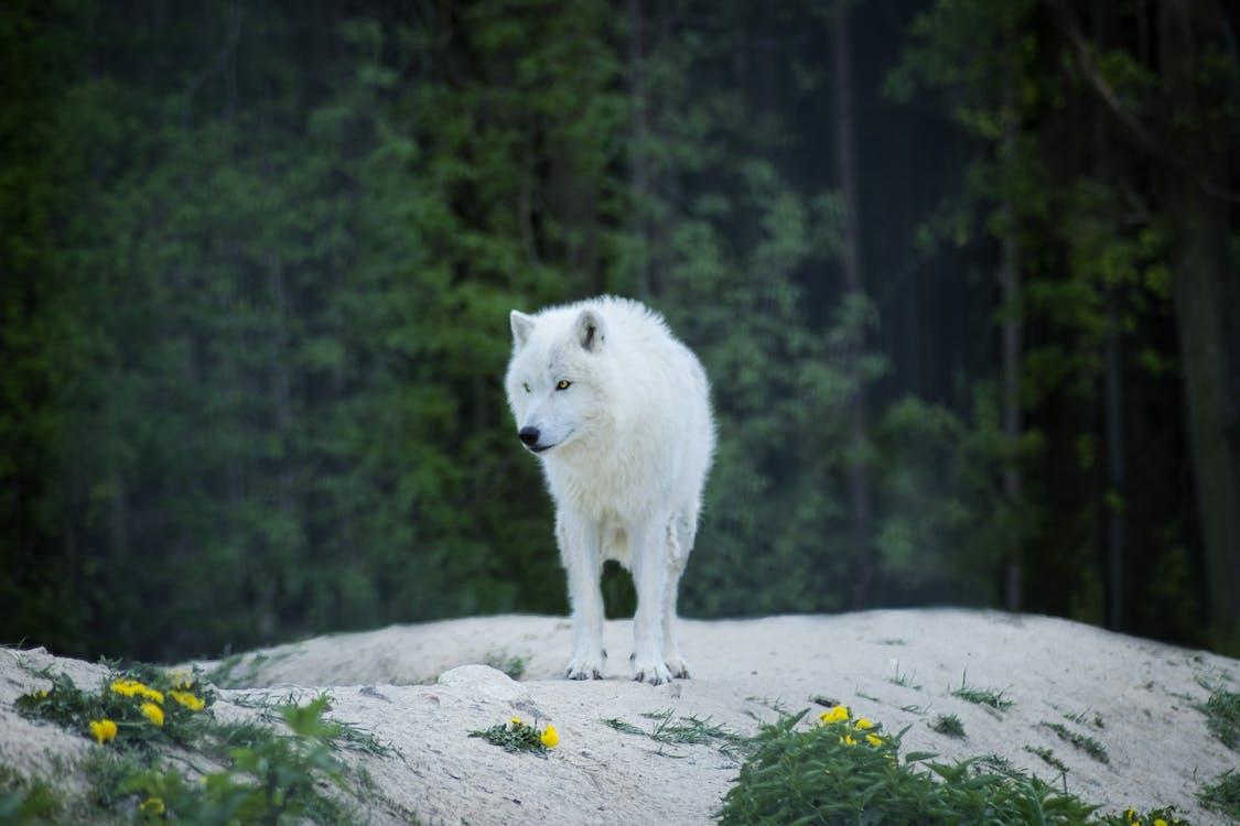 White Wolf on Floor