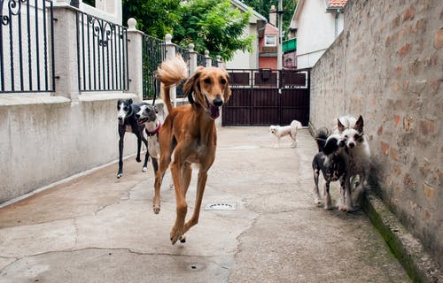 Free stock photo of adopted dogs, chinese crested dog, galgo