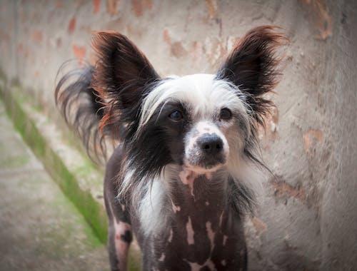 Free stock photo of animal portrait, chinese crested dog, dog portraits, hairless dog