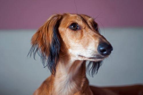 Free stock photo of dog, hound, long dog, persian greyhound