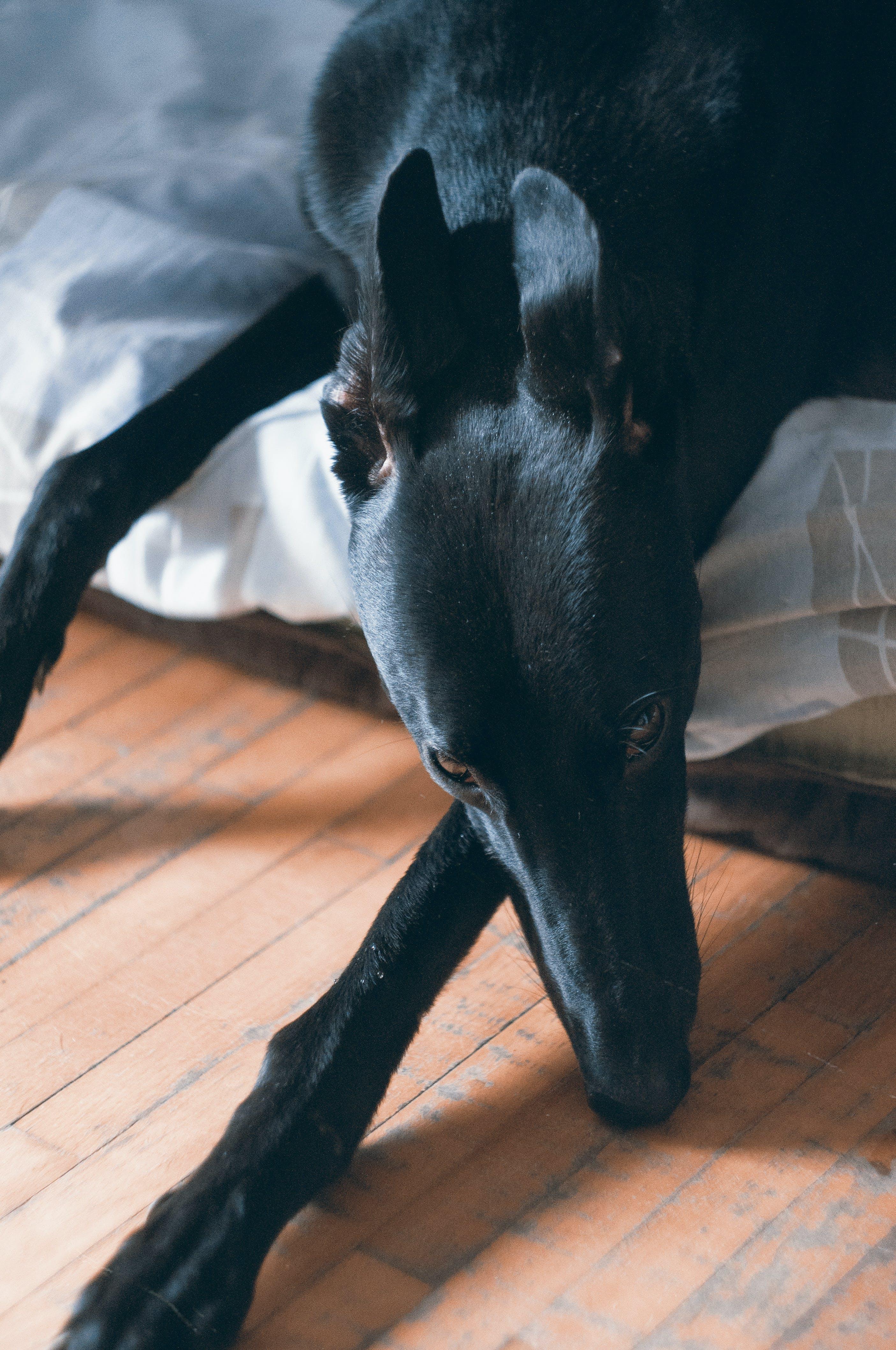 Free stock photo of adopted, animal portrait, black dog, Dog Resting