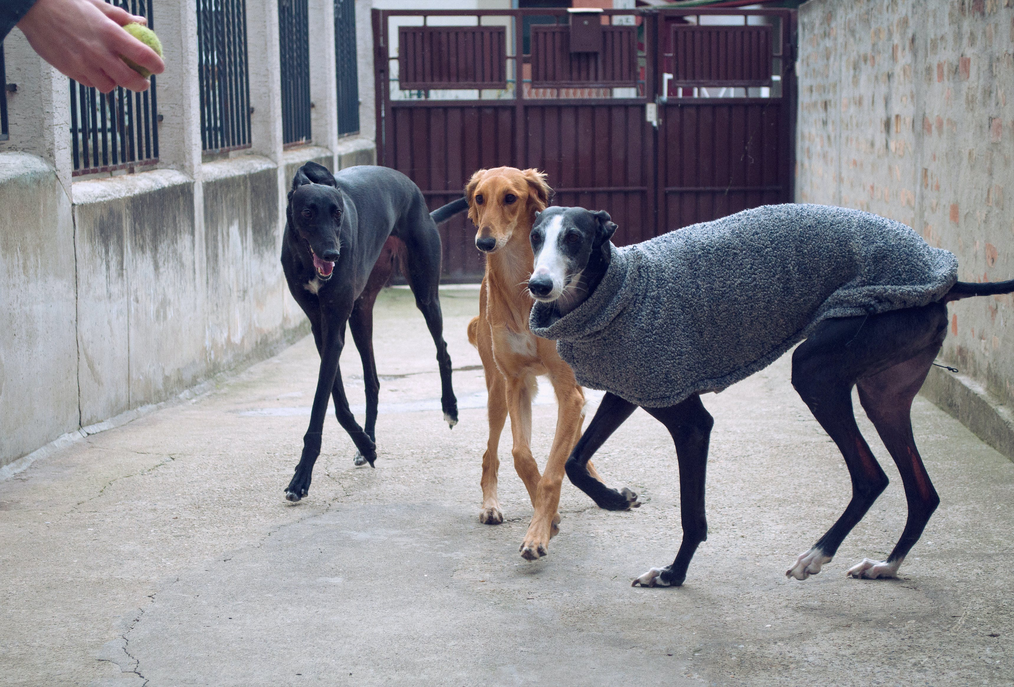 Free stock photo of adopted dogs, galgo, greyhound, hounds playing