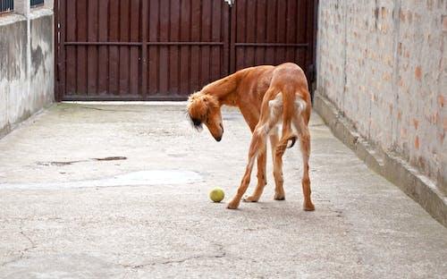 Free stock photo of ball, dog, dog playing, hound